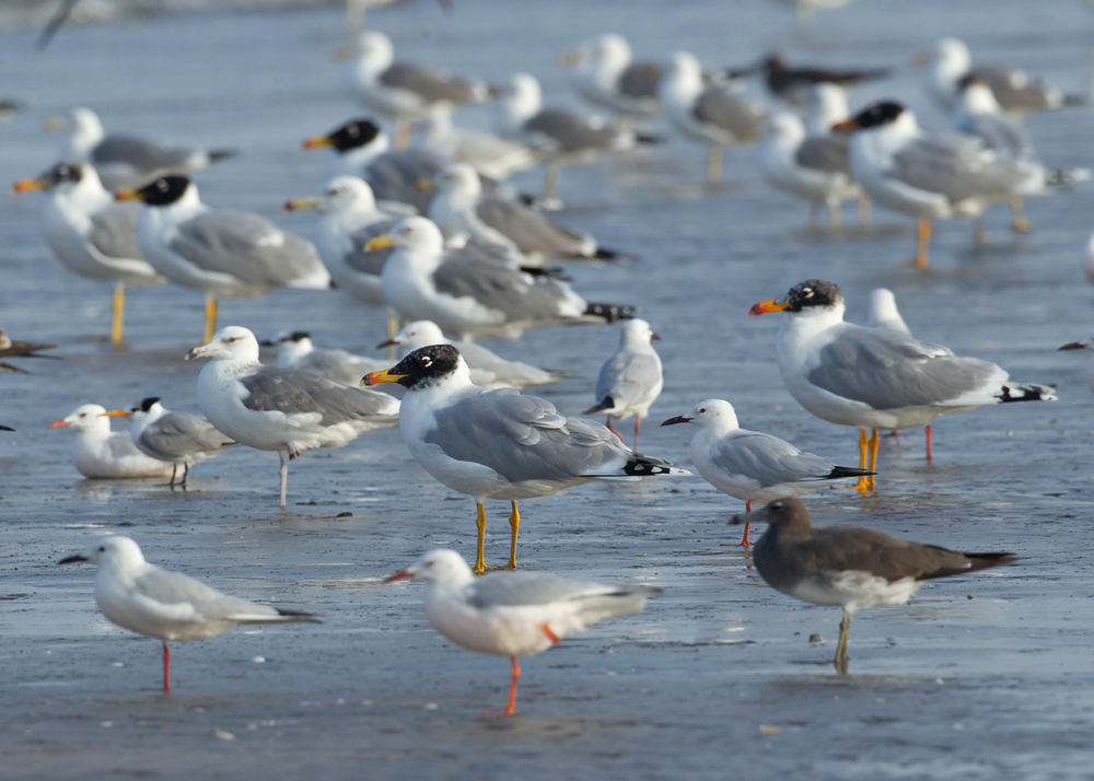 Pallas's Gull flock, Ras as Sawadi Feb 2014