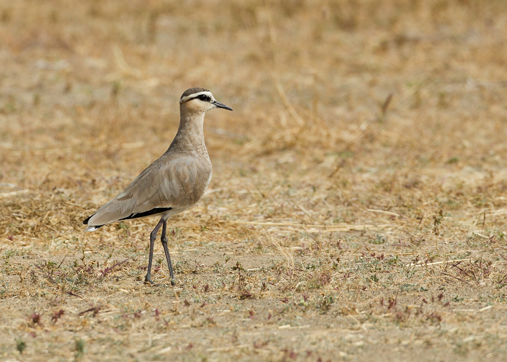 The critically endangered Sociable Lapwing, Sohar Sun Farms, Oman (Mike Watson)
