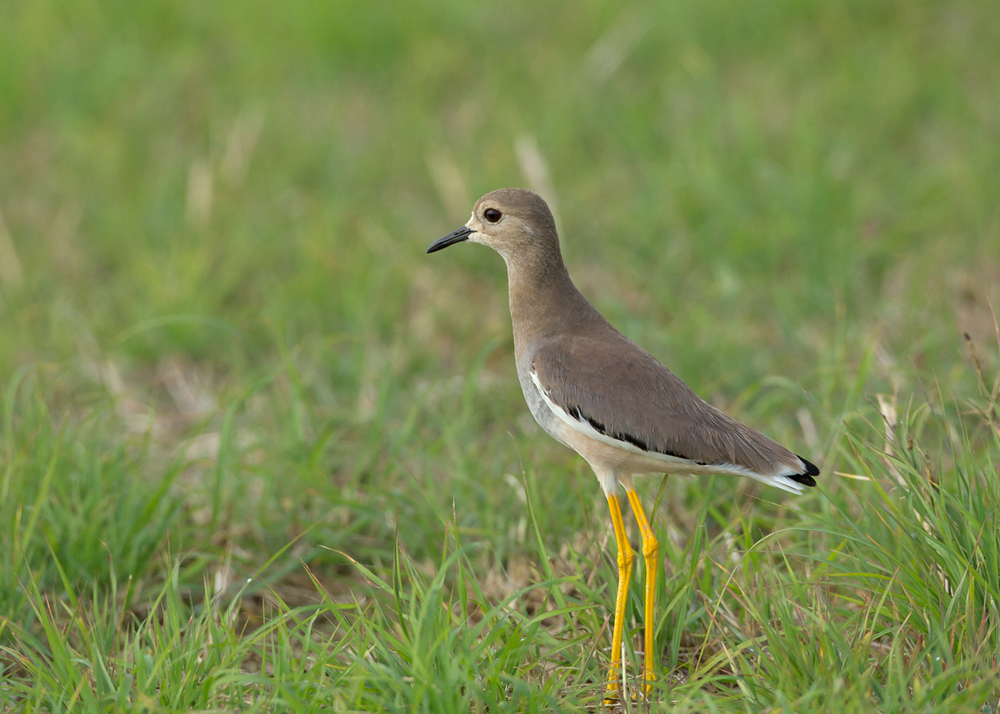 White-tailed Lapwing, Sohar Sun Farms, Oman (Mike Watson)