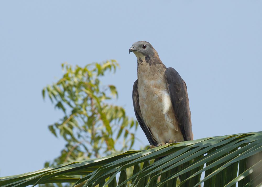 Crested Honey Buzzard, Al Nahda Resort, Barka, Oman