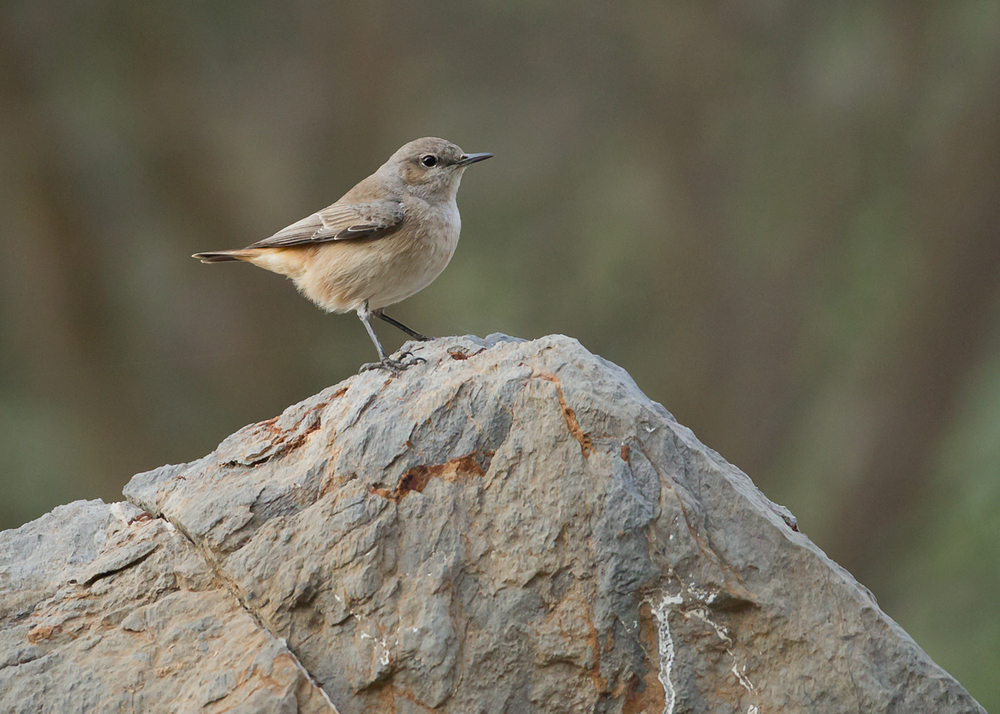 Red-tailed Wheatear, Al Hajar Mountains, Oman