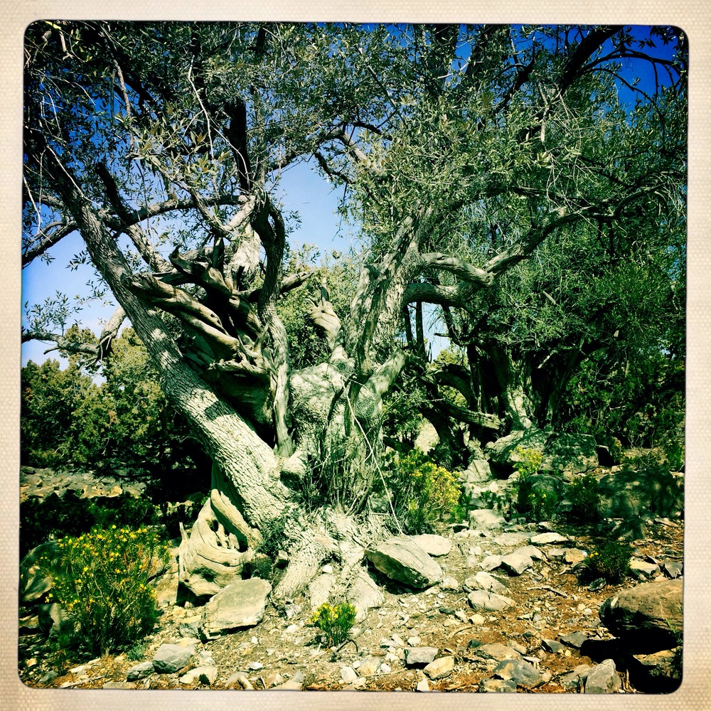 Ancient Olive tree, Sayq Plateau (Iphone 5S hipstamatic)