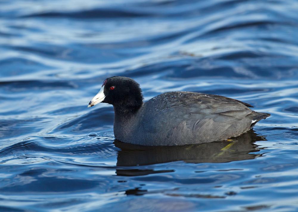 Amercian Coot, Blue Heron Wetlands, Titusville FL Jan 2014