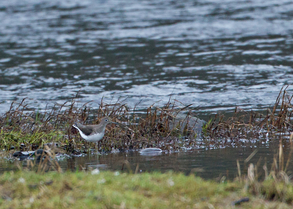 Green Sandpiper, River Ribble, Ribchester