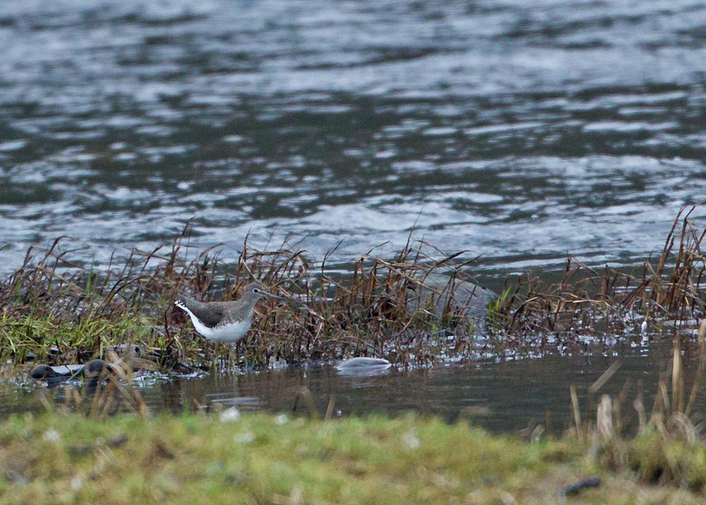 Green Sandpiper, River Ribble, Ribchester