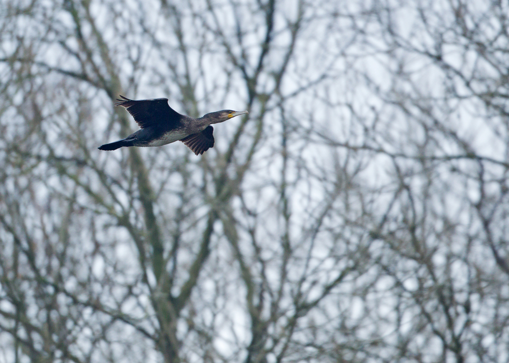 'Continental' Great Cormorant, Ribchester