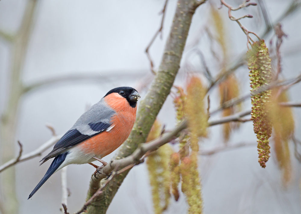 Eurasian Bullfinch, Ribble Valley