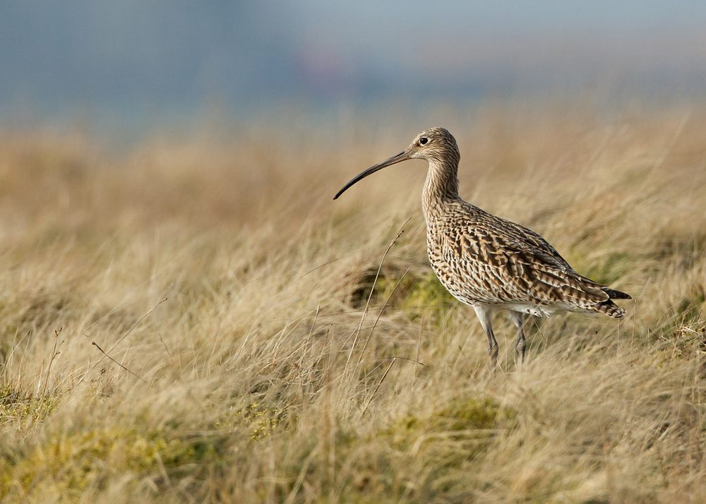 Eurasian Curlew, Bowland, East Lancashire March 2014