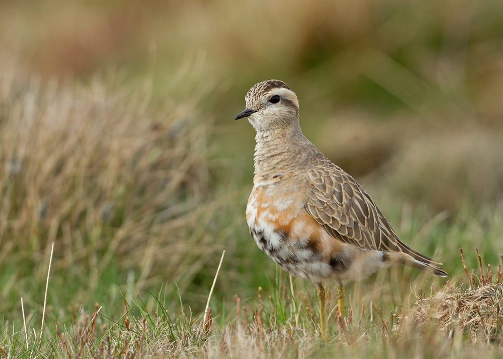 The first dotterel of 2014 on Pendle Hill