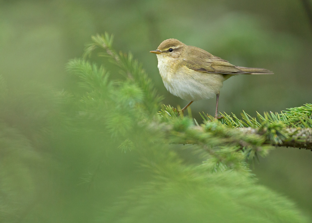 Willow Warbler, Moor Piece LWT Reserve