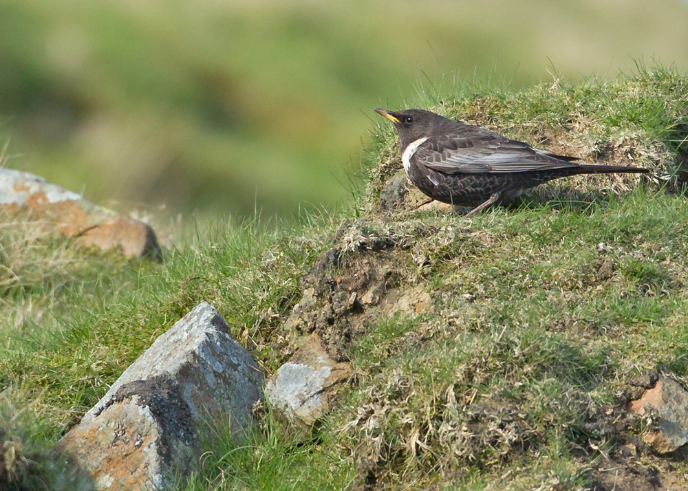 Ring Ouzel, Pendle Hill
