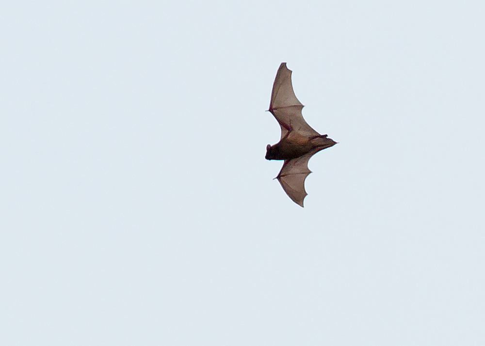 Noctule Bat hunting in midday sunshine at Ribchester
