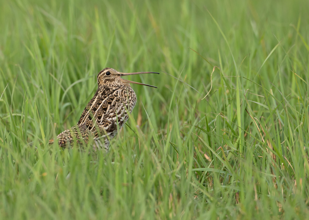 Great Snipe, Turov Meadows, Belarus May 2014