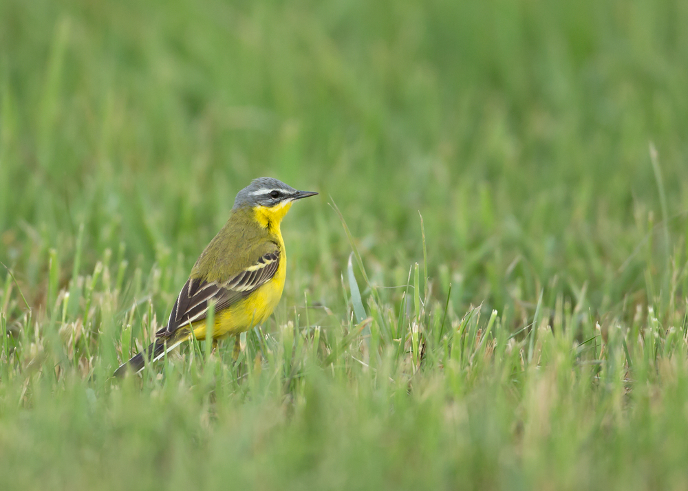 Blue-headed Wagtail, Turov Meadow, Belarus May 2014