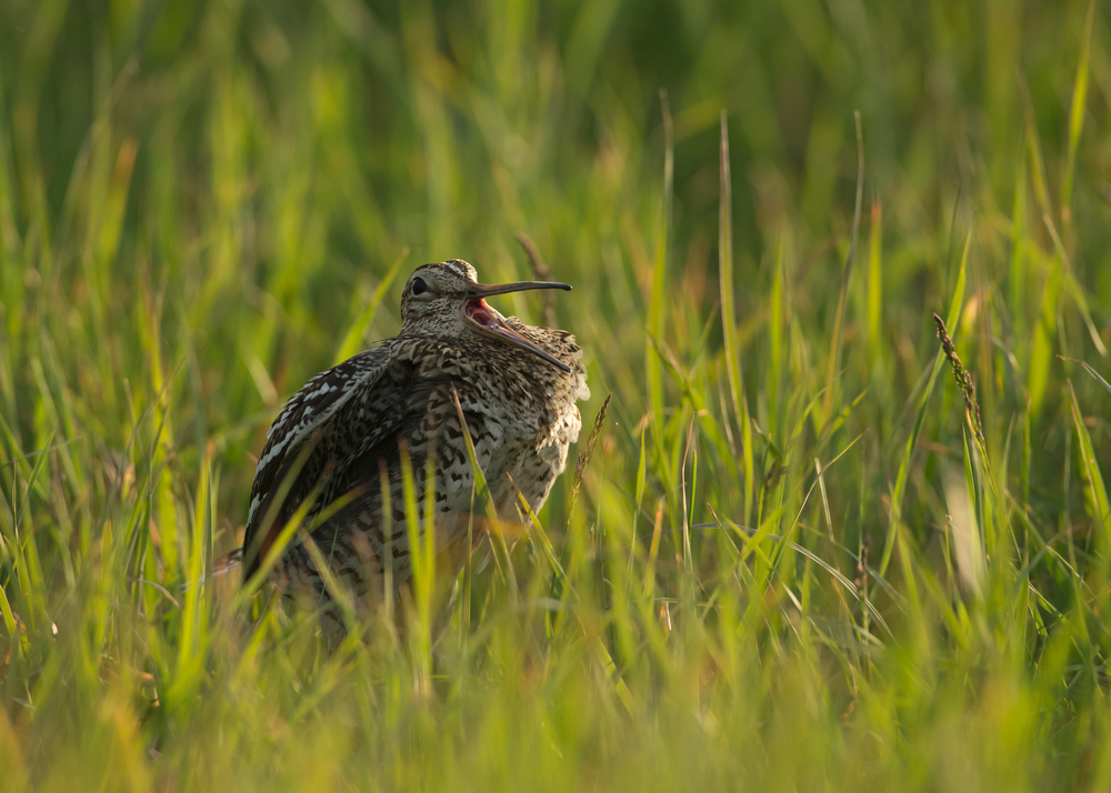 Great Snipe, Turov Meadow, Belarus May 2014