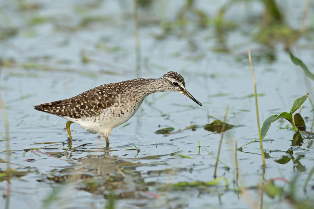 Wood Sandpiper, Turov Meadow, Belarus May 2014