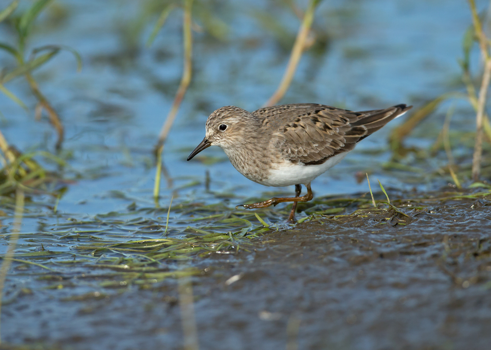 Temminck's Stint, Turov Meadow, Belarus May 2014