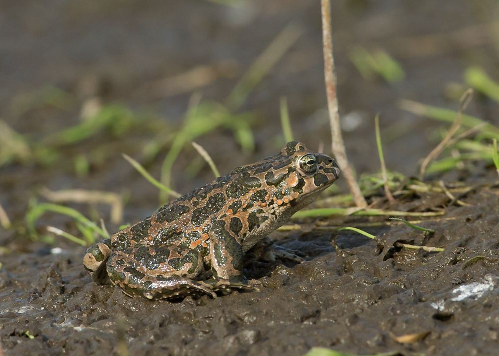 Green Toad, Turov Meadow, Belarus May 2014