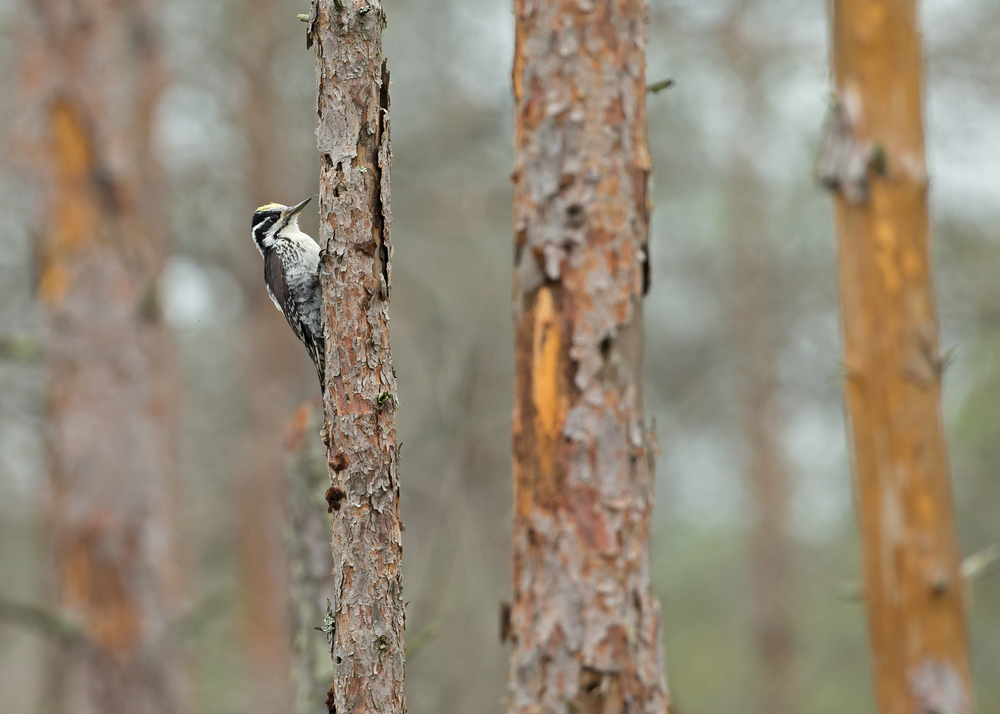 Eurasian Three-toed Woodpecker, Pripyatskiy National Park May 2014