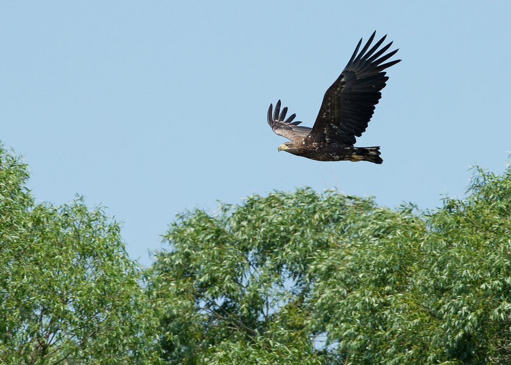 White-tailed Eagle, Pripyatskiy National Park May 2014