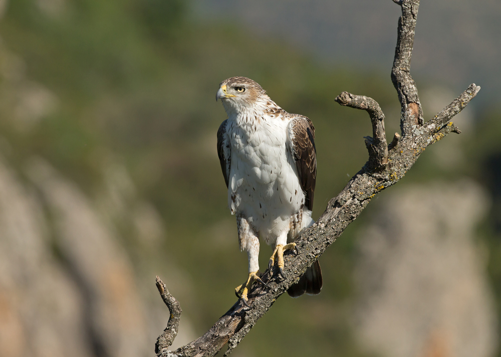 Bonelli's Eagle, Montsonís May 2014