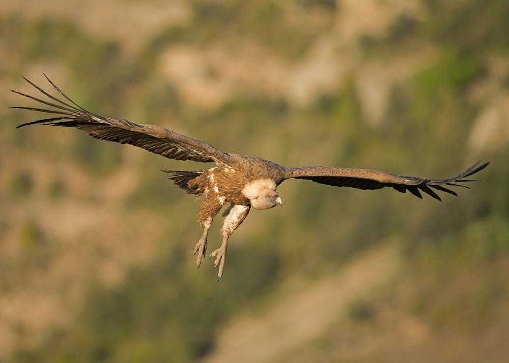 Eurasian Griffon Vulture, Lleras April 2014