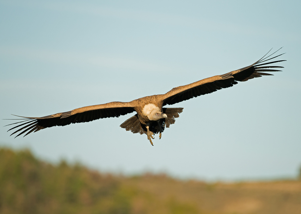 Euarasian Griffon Vulture, Lleras April 2014