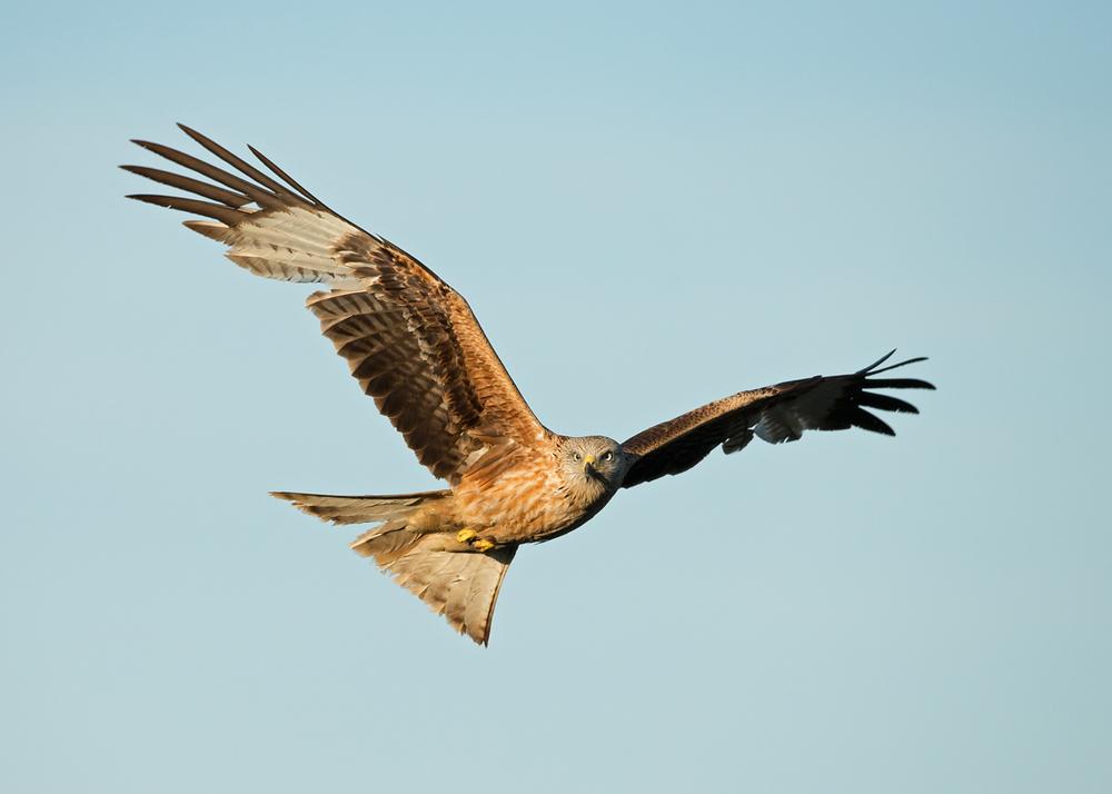 Red Kite, Lleras April 2014