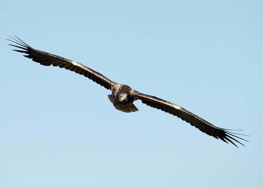 Egyptian Vulture, Lleras April 2014