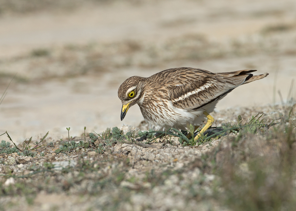 Eurasian Stone Curlew, Lleida Plains May 2014