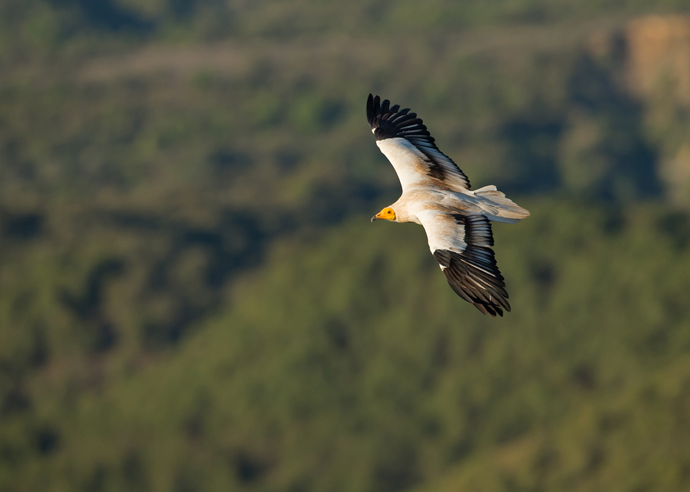 Egyptian Vulture, adult