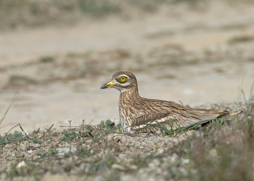 eurasian-stone-curlew-catalonia.jpg