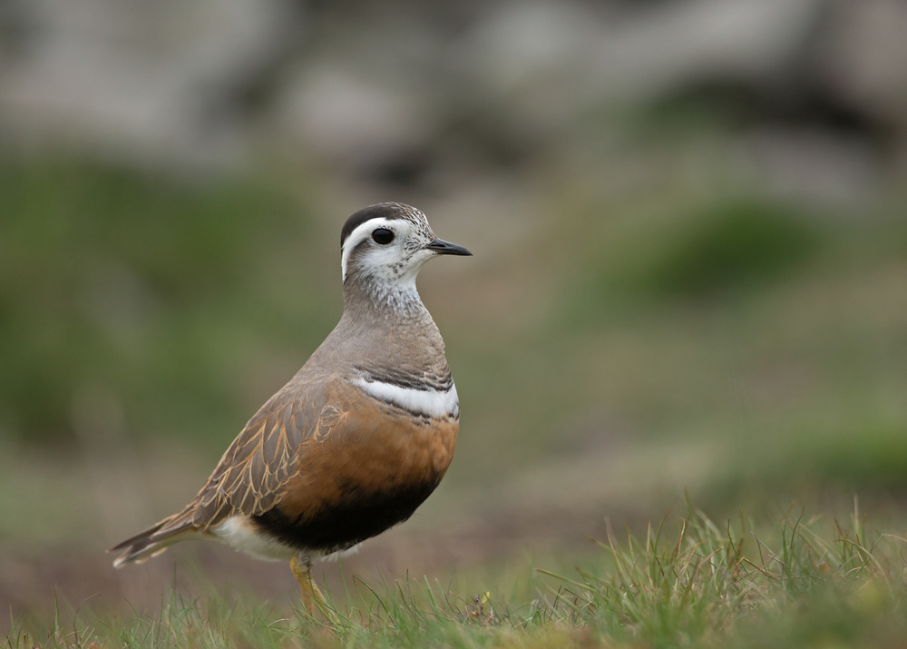 Eurasian Dotterel, female, Pendle Hill