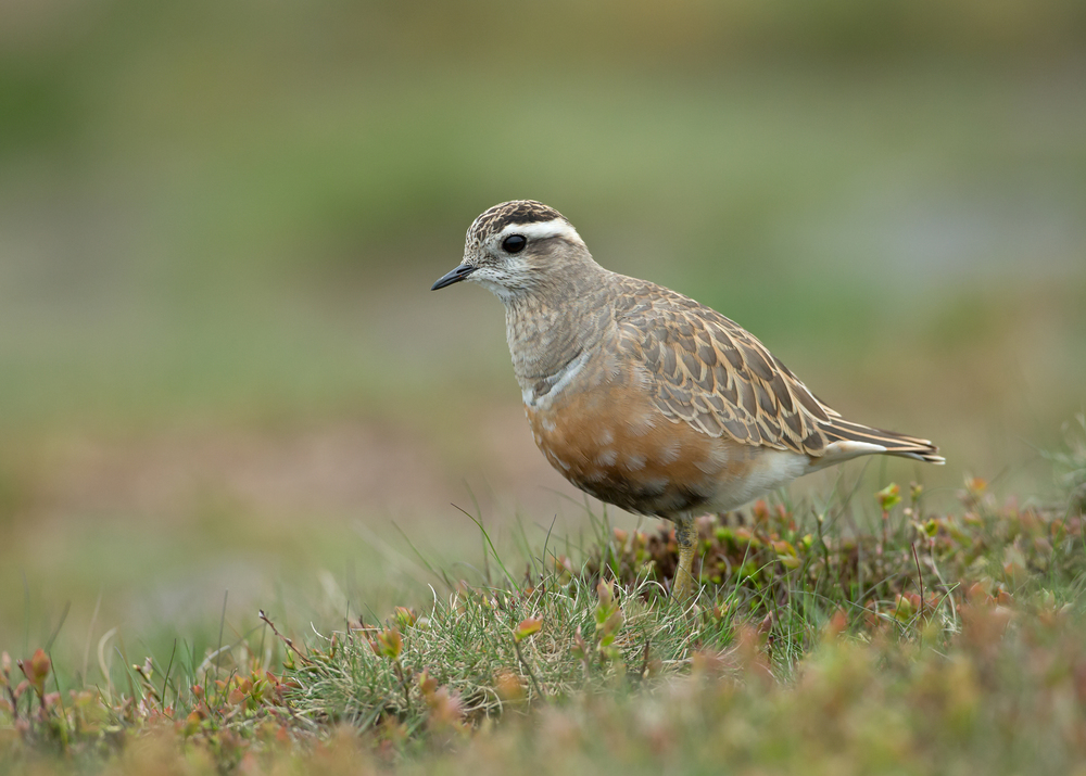 Eurasian Dotterel, male, Pendle Hill
