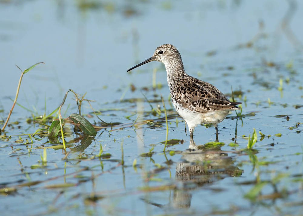 A lovely breeding-plumaged Marsh Sandpiper was the highlight of our photo hide sessions at Turov Meadow