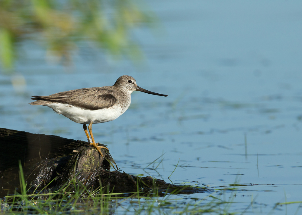 Terek Sandpiper perched on a partly submerged fisherman's boat