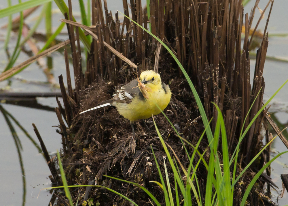 Citrine Wagtail, towards the westernmost limit of its breeding range