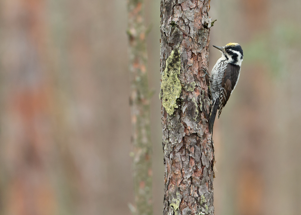 Eurasian Three-toed Woodpecker, an unobtrusive resident of the pine forest bogs of Belarus