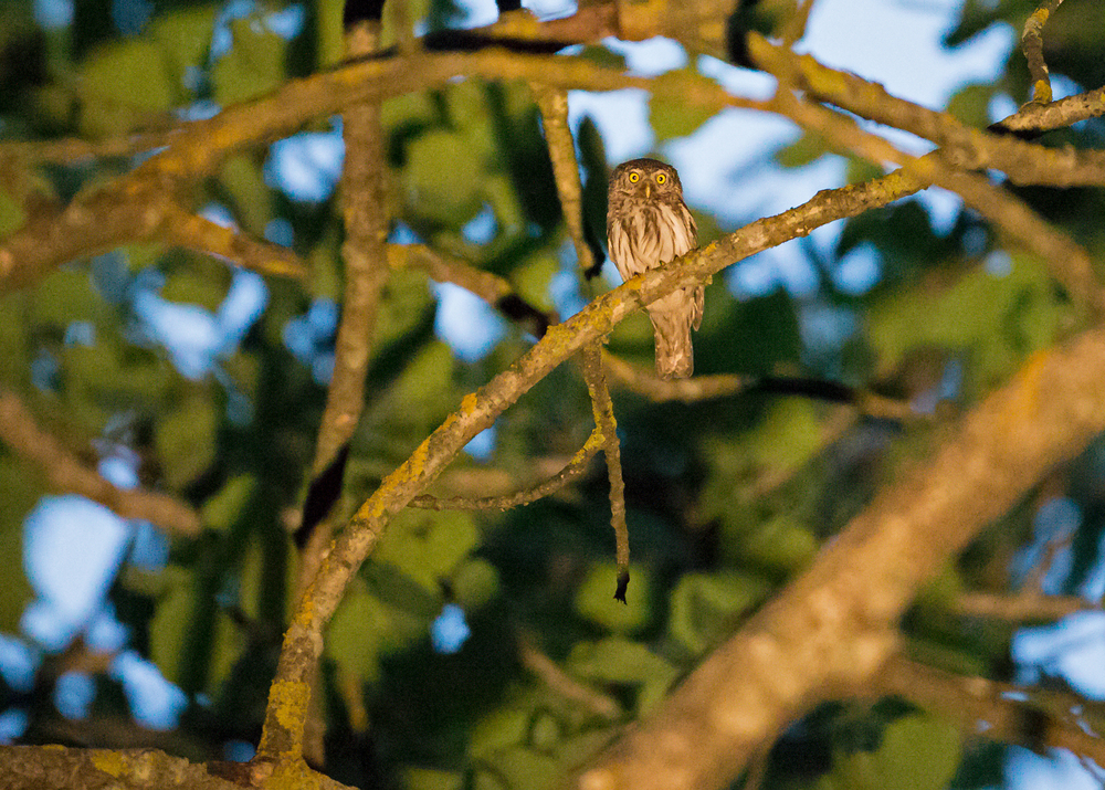 Eurasian Pygmy Owl, Pripyatsky National Park in torchlight at 32000 ISO!