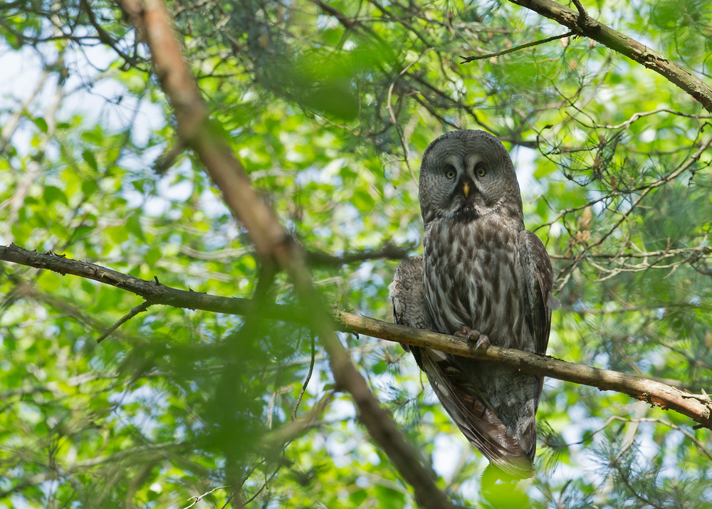 Great Grey Owl, Vygonoschansky reserve, Belarus
