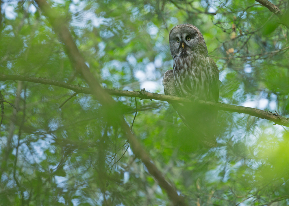 Great Grey Owl, Vygonoschansky Reserve, Belarus May 2014
