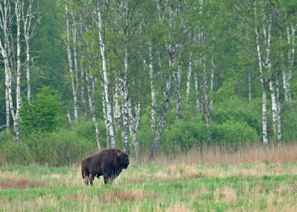 European Bison, Belowezhskaya Pushcha May 2014