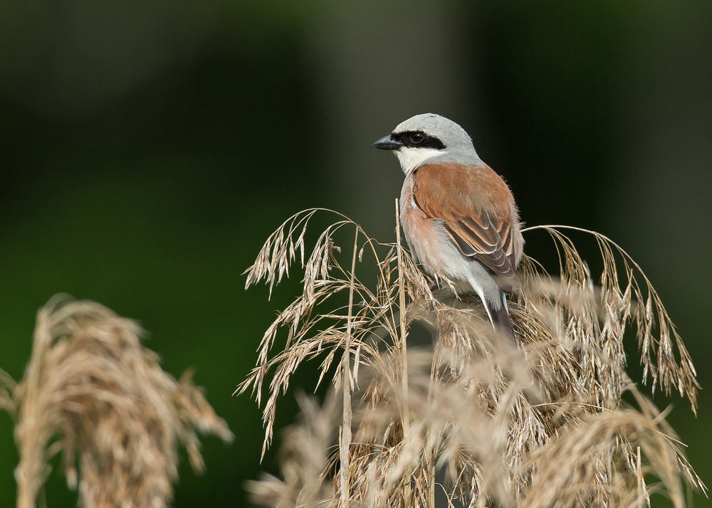 Red-backed Shrike, male - delightful to see so many of these in the Belorussian countryside!
