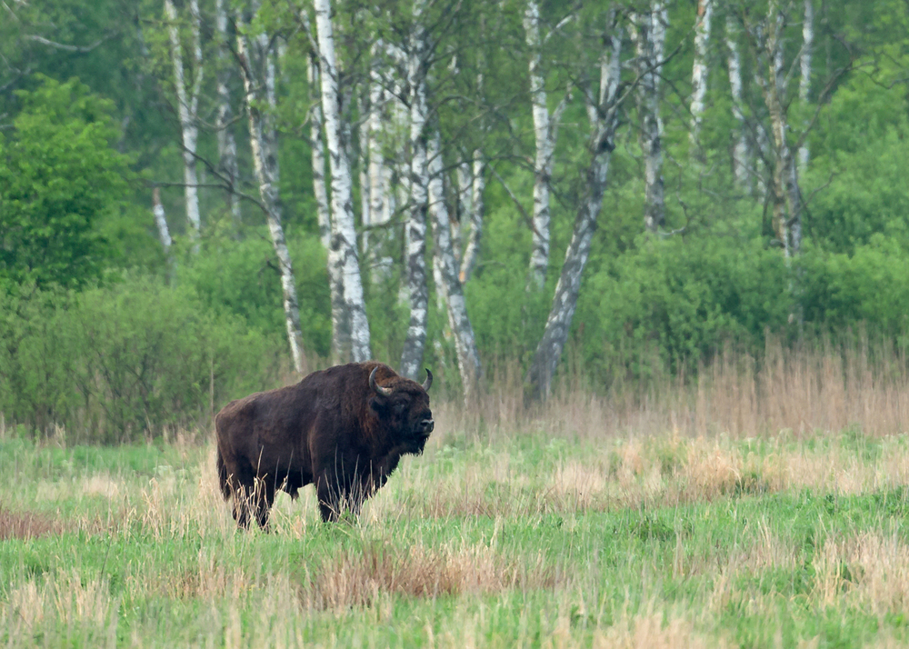 A huge bull bison in a secluded meadow in Belowezhskaya Pushcha