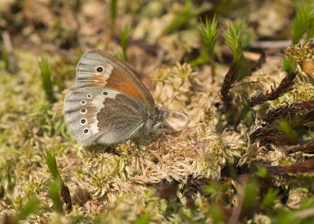 Large Heath ssp polydama, Bowland Fells SSSI
