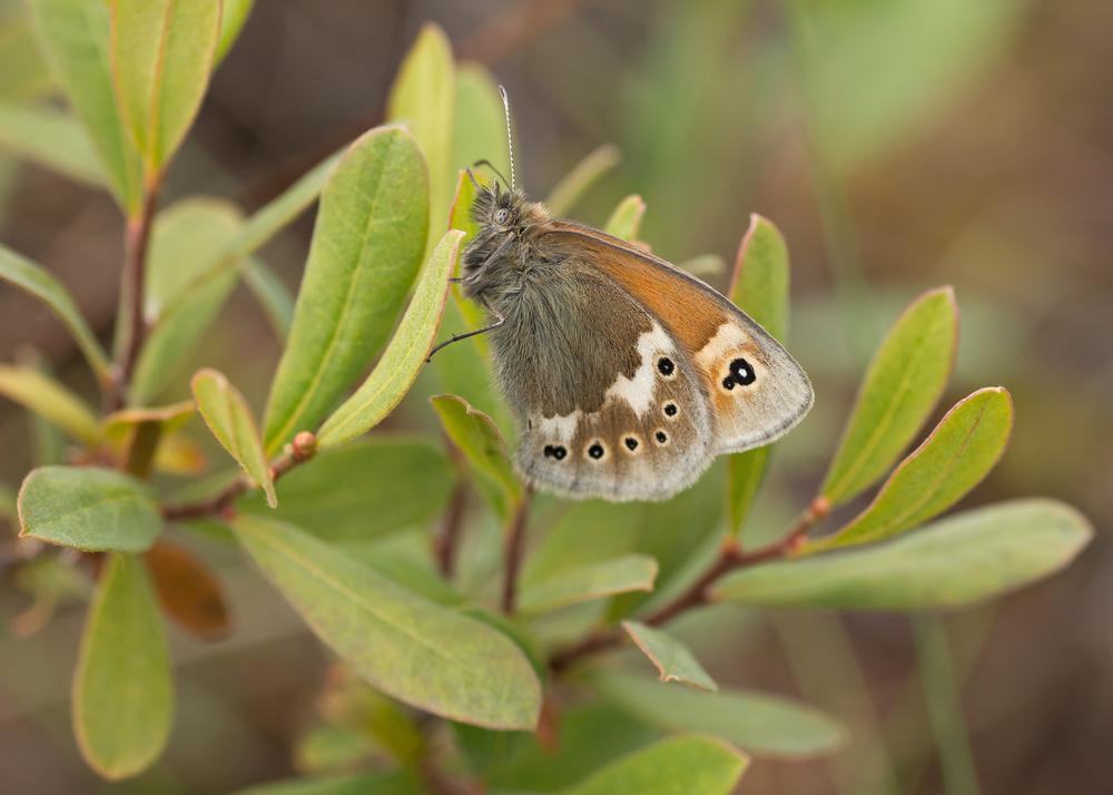 Large Heath ssp davus, Foulshaw Moss CWT Reserve