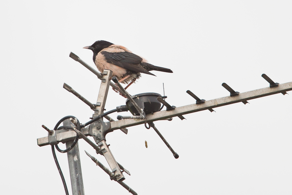 East Lancashire's first Rose-coloured Starling drops one in Burnley