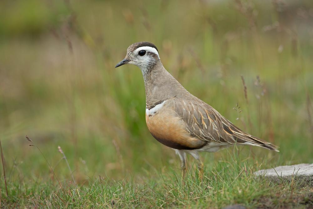 Eurasian Dotterel, female on Pendle Hill