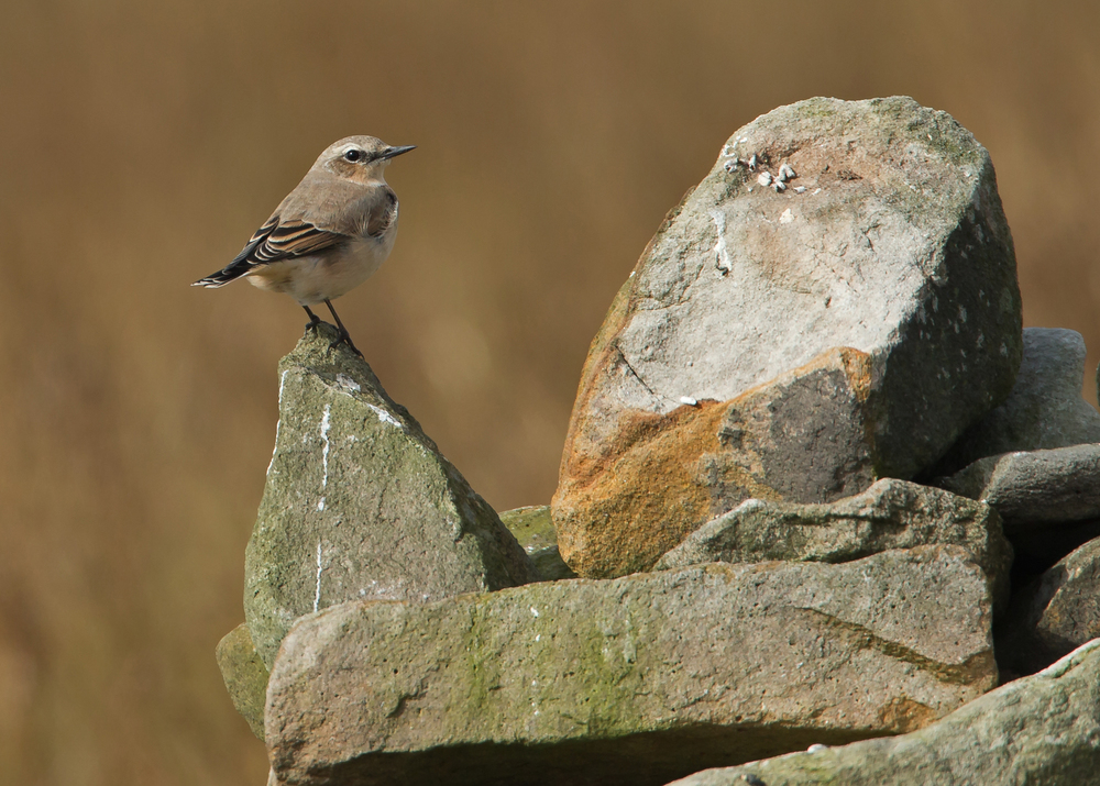 Northern Wheatear, Pendle Hill summit