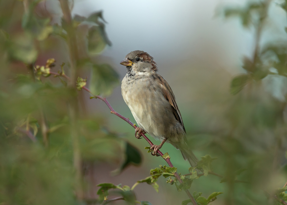 House Sparrow - Ribchester still has several small flocks of these lovely little birds!